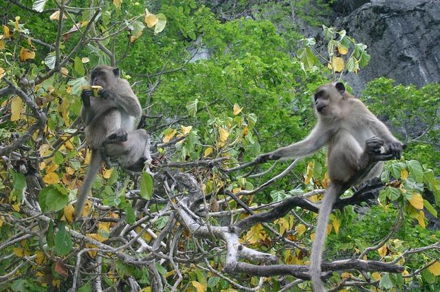 Ape monkey äffchen, animals.