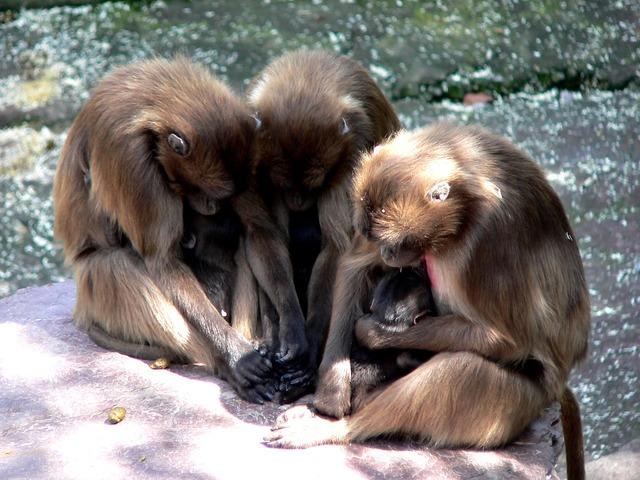 Ape monkey baby monkey family.