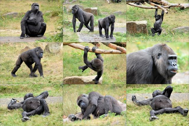 Ape monkey gorilla, animals.
