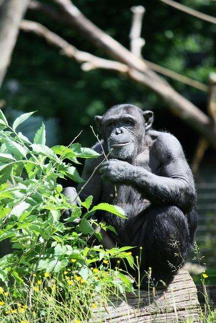 Ape monkey zoo, animals.