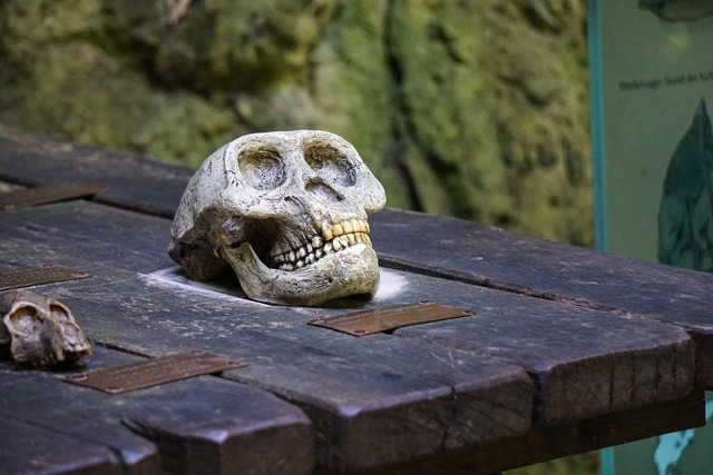 Ape skull skeleton, animals.