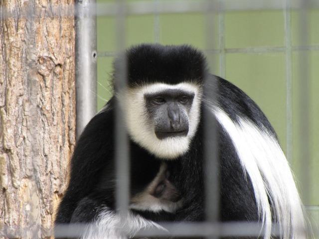 Ape zoo animal, animals.