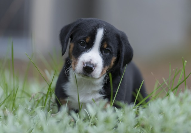 Appenzell puppy dog, animals.