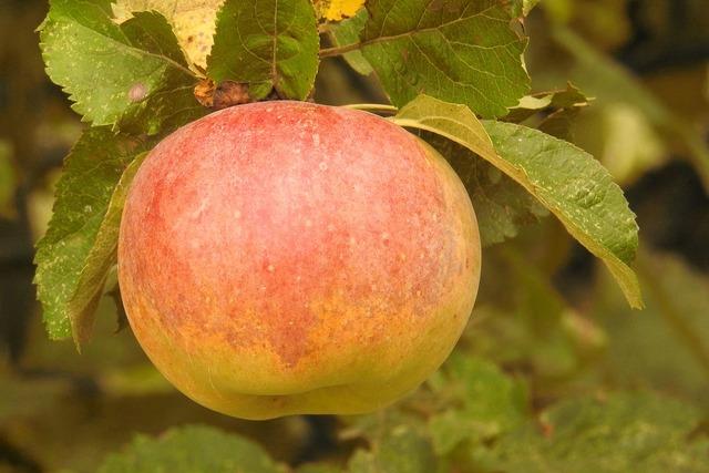 Apple apple tree branch, food drink.