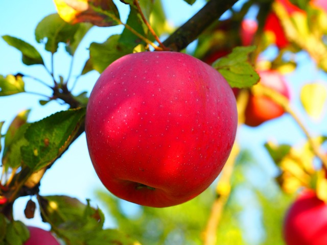 Apple apple tree fruit, food drink.
