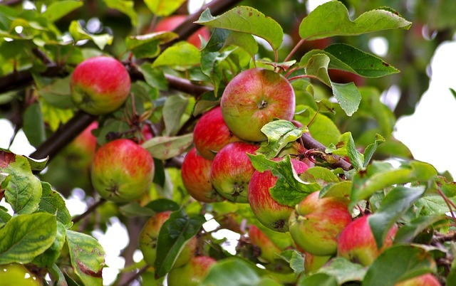 Apple apple tree harvest, food drink.
