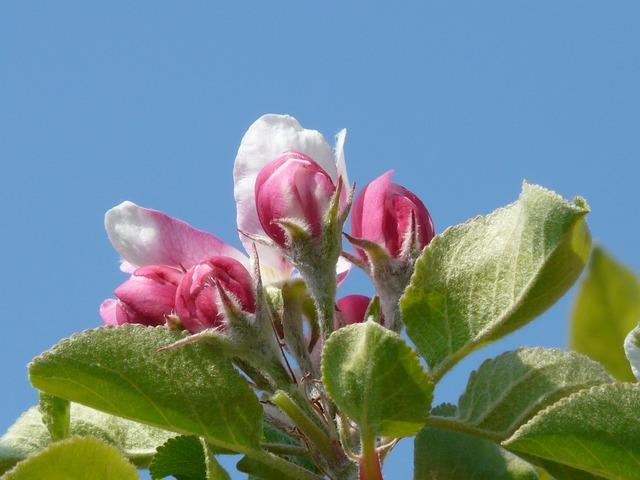 Apple blossom apple tree blossom.