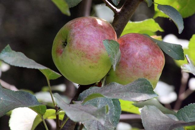 Apple fruit leaves, food drink.