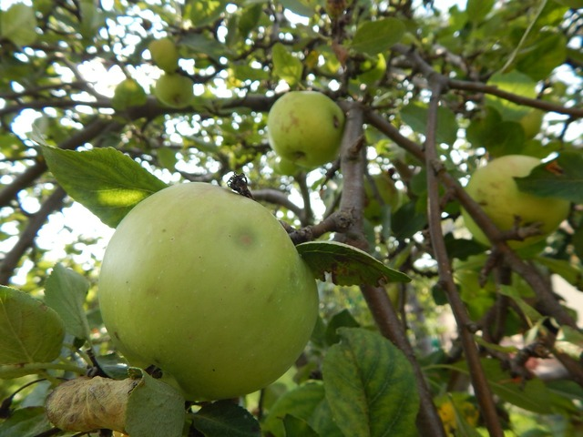 Apple fruit tree, food drink.