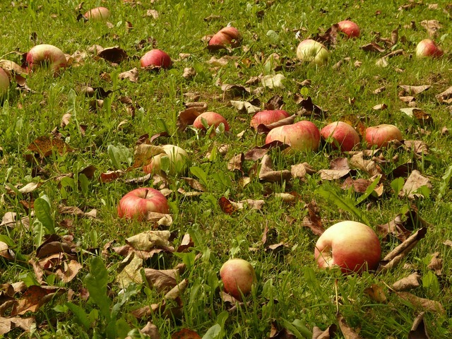 Apple meadow harvest, food drink.
