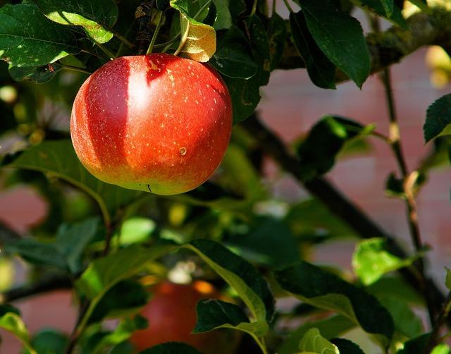 Apple tree branch apple, food drink.