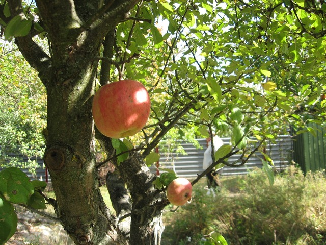 Apple tree garden dacha, food drink.
