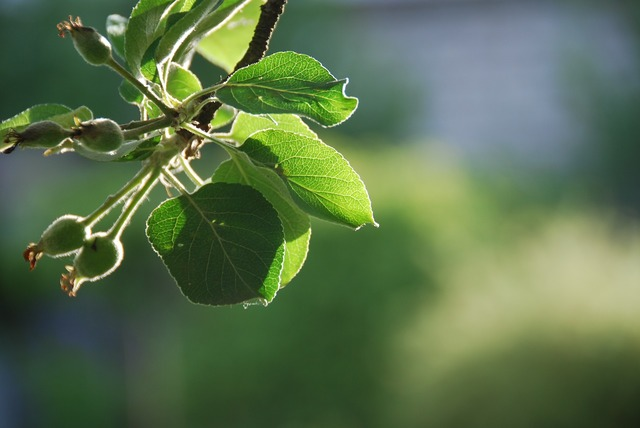 Apple tree june green.