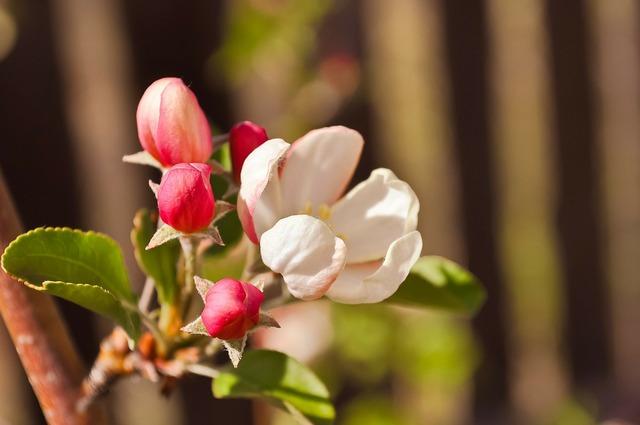 Apple trees flowers bloom, science technology.
