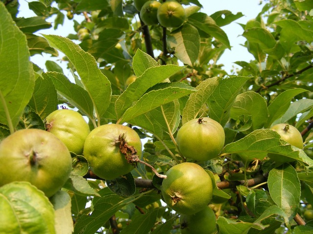 Apples branch green, food drink.