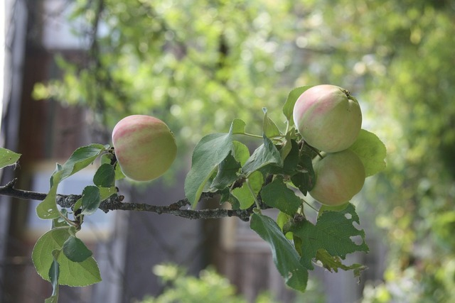 Apples on a branch apple orchard apples, food drink.
