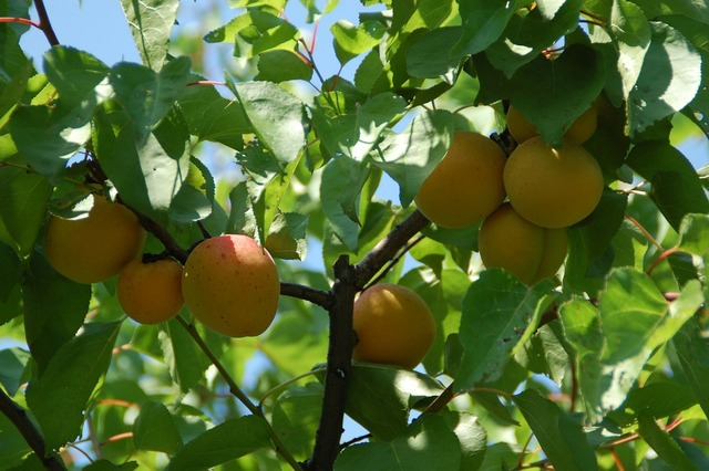 Apricot fruit south, food drink.