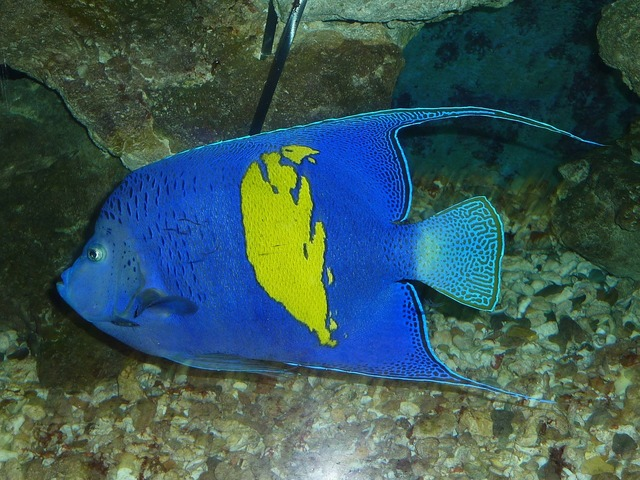 Arabian angelfish fish blue.