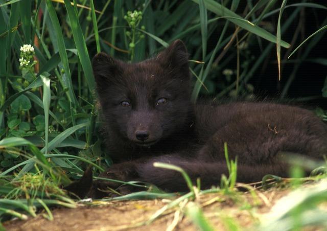 Arctic fox animal mammal, animals.