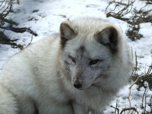 Arctic fox fox snow, animals.