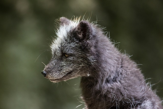 Arctic fox ice fox fur, animals.