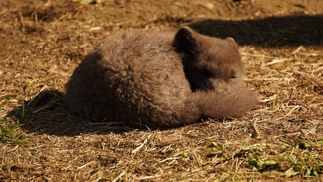 Arctic fox iceland sleeping.