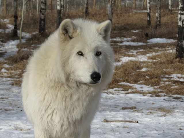 Arctic wolfdog wolfdog wolf, animals.