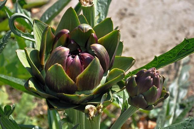 Artichoke plant blossom, nature landscapes.