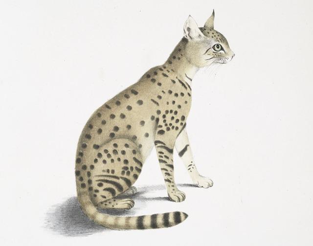 Asiatic wildcat felis ornata asian steppe wildcat.
