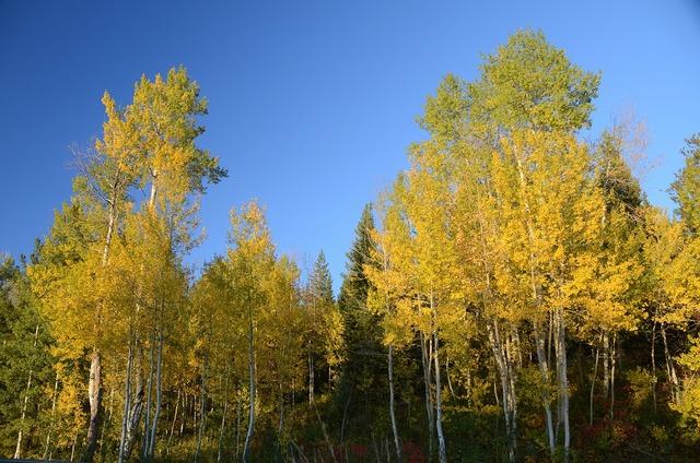 Aspen aspen trees color change, nature landscapes.