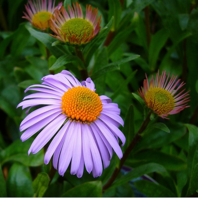 Aster tongolensis michelmas daisy mauve flower, animals.