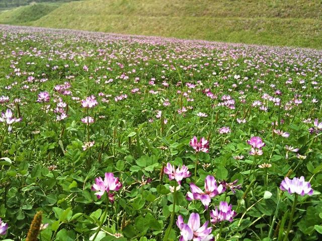 Astragalus lotus flower flowers.