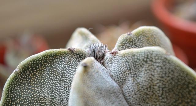 Astrophytum cactus succulent, nature landscapes.