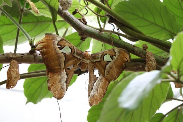 Atlas silkworm attacus atlas butterfly.