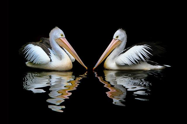 Australia pelican sea birds, nature landscapes.