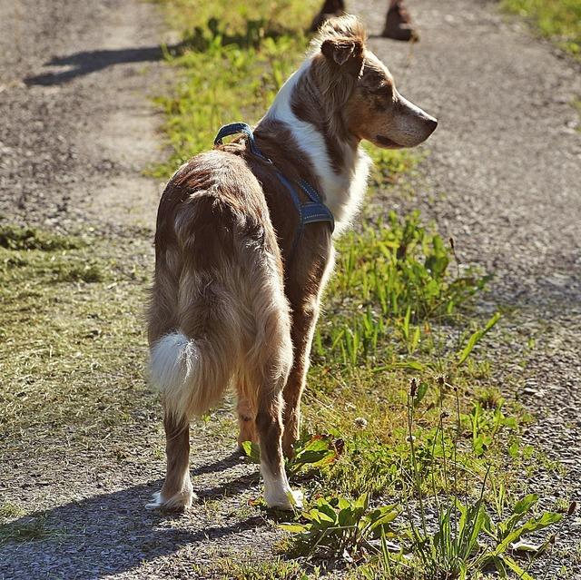 Australian shepherd dog pet, animals.