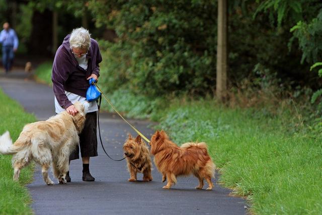 Australian terrier terrier spitz, animals.
