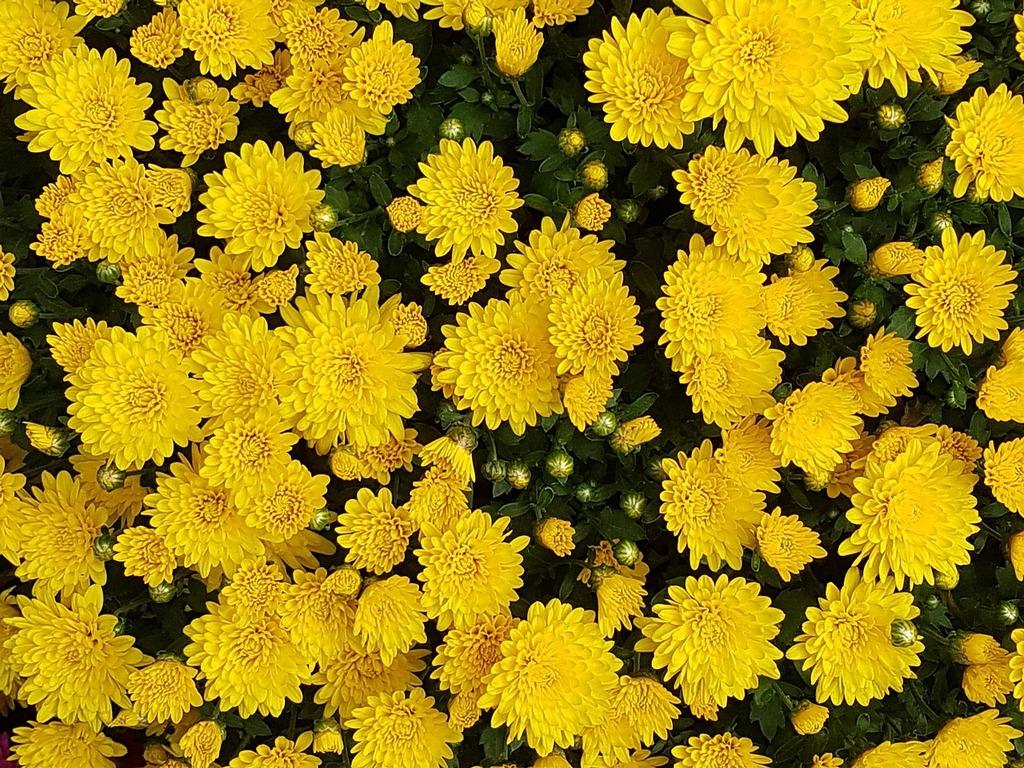 Autumn chrysanthemum flowers.
