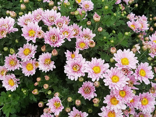 Autumn chrysanthemum flowers.