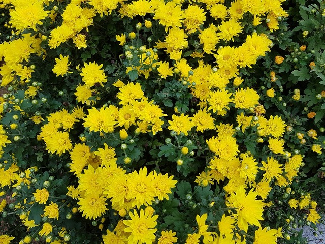 Autumn chrysanthemum small yellow flowers.