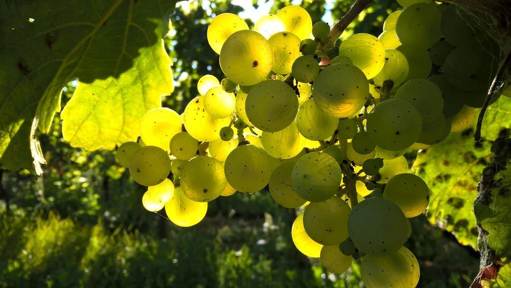 В Севастополе будут учить специалистов виноградарско-винодельческой отрасли