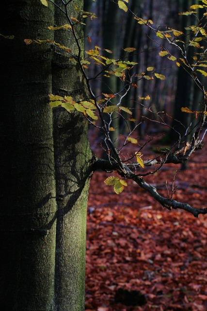 Autumn tree beech, nature landscapes.