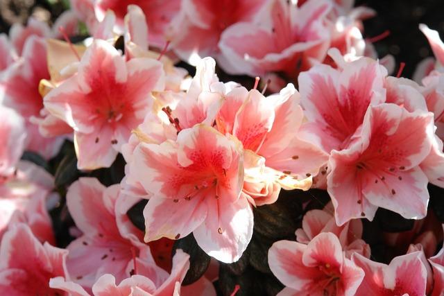 Azalea flowers plant, nature landscapes.
