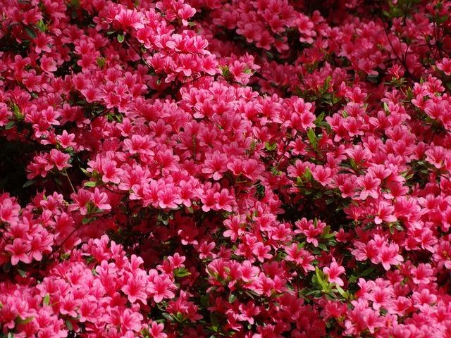 Azalea pink keukenhof, nature landscapes.