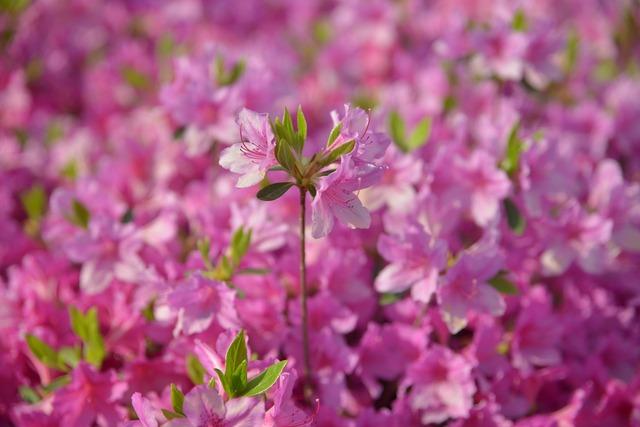 Azalea pink spring, nature landscapes.