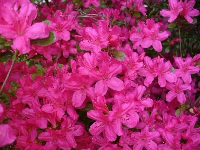 Azaleas bush floral.