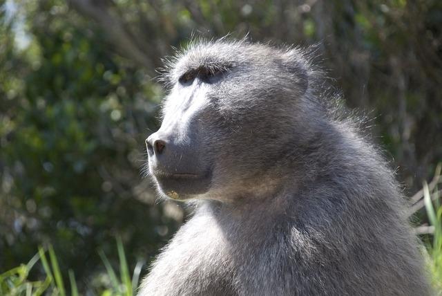 Baboon animal mammal, animals.