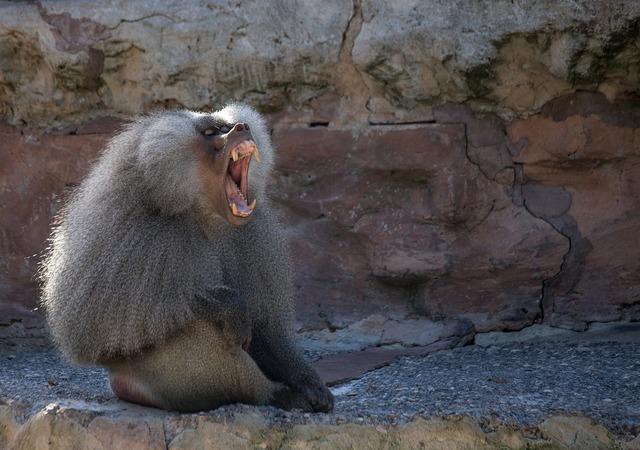 Baboon animal monkey, animals.