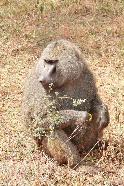 Baboon animals africa.