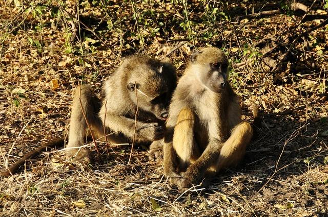 Baboon ape affection, animals.